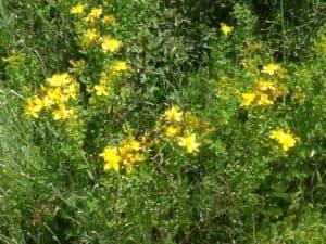 жълт кантарион, St John's wort