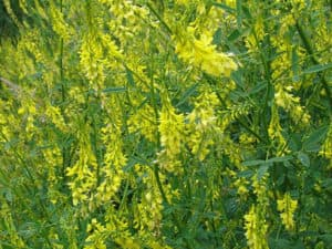 melilotus, жълта комунига