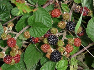 blackberry, къпина