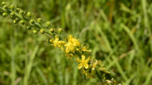 Common Agrimony, камшик