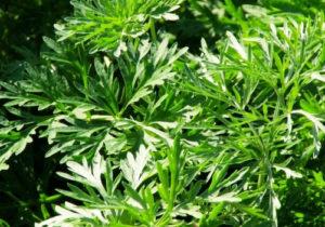див пелин, Artemisia vulgaris