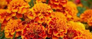 marigold, невен