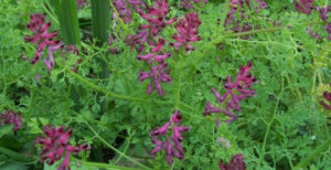 Common fumitory, лечебен росопас