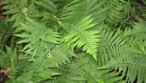 мъжка папрат, male fern